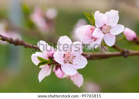 Fresh, spring tree with pink blossoms - stock photo
