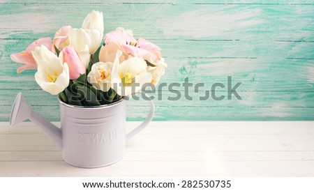 Fresh  spring white and pink  tulips and narcissus in decorative watering can  on white painted wooden background against turquoise wall. Selective focus. Place for text. Toned image. - stock photo