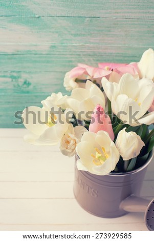Fresh  spring white and pink  tulips and narcissus in watering can  on white painted wooden background against turquoise wall. Selective focus. Place for text. Toned image. - stock photo