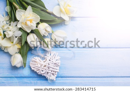 Fresh  spring white tulips and narcissus flowers  and decorative heart  in ray of light on blue  painted wooden background. Selective focus. Place for text.  - stock photo