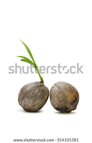Fresh sprout of coconut tree isolated on white background