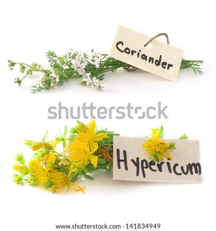 fresh St John's wort and coriander isolated on the white - stock photo