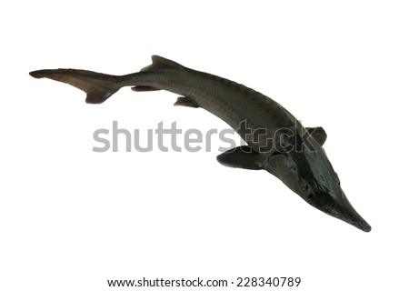 Fresh sterlet fish isolated on white background