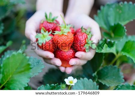 Fresh strawberries handpicked from a strawberry farm - stock photo