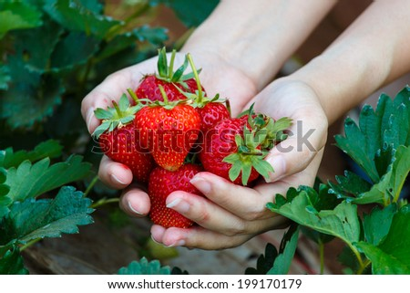 Fresh strawberries handpicked from a strawberry farm - stock photo
