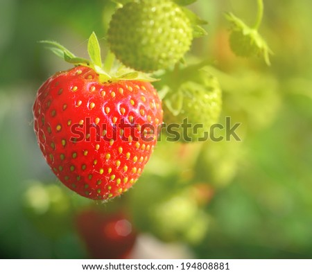 Fresh strawberries in beautiful hazy light, natural look - stock photo