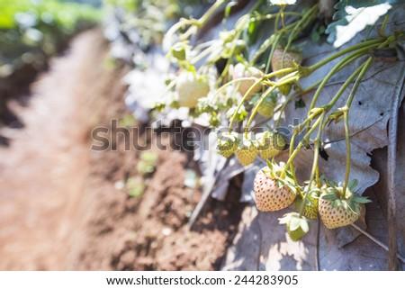Fresh Strawberries in the Field - stock photo