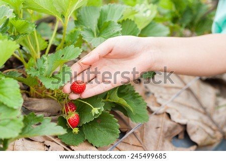 Fresh strawberries in the field at Chiangmai, Thailand. - stock photo