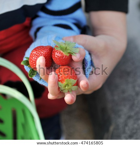 Fresh strawberries in the hands of a child