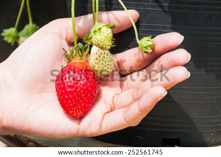 Fresh strawberries on hand - stock photo