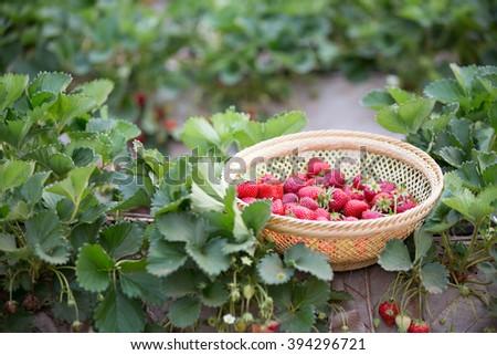 fresh strawberries on strawberrie field - stock photo