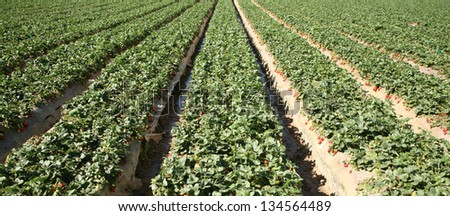 Fresh Strawberry Fields AKA Fragaria Ã?Â? ananassa or Garden Berry growing in rows in a Strawberry Field in Southern California - stock photo