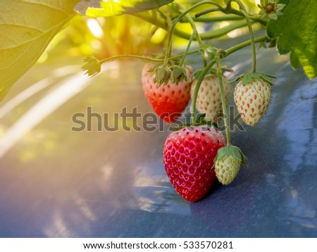 Fresh strawberry on the branch in the garden with sunlight
