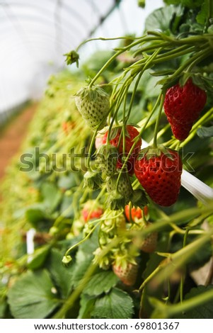 Fresh strawberry that you can pick it up by yourself in the farm, Japan - stock photo