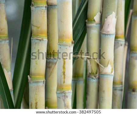 fresh sugarcane in garden