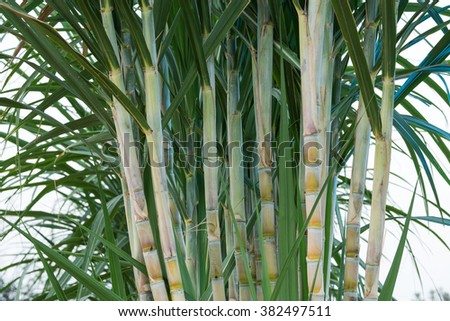 fresh sugarcane in garden - stock photo