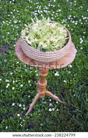 fresh summer linden tree medical blossoms in wicker basket on table in garden