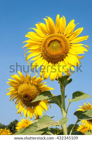 Fresh sunflower field under the clear blue sky in the countryside farming of Thailand. - stock photo