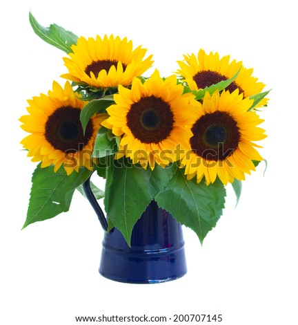fresh sunflowers  flowers bouquet in blue pot isolated on white background - stock photo