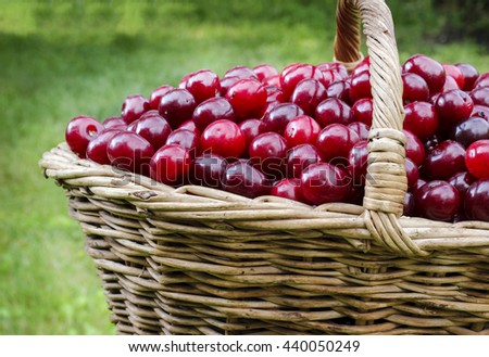 Fresh sweet ripe cherries in a wicker basket on a grass, summer harvest - stock photo