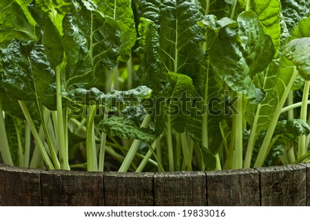Fresh Swiss Chard growing in a barrel. - stock photo