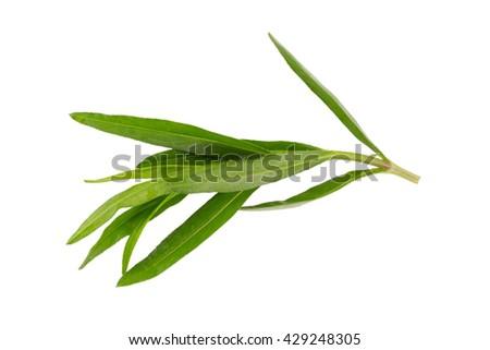 Fresh tarragon herbs, Tarragon herbs close up isolated on white - stock photo