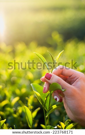 Fresh tea leaves in fingers on plantation at chiangrai, thailand - stock photo