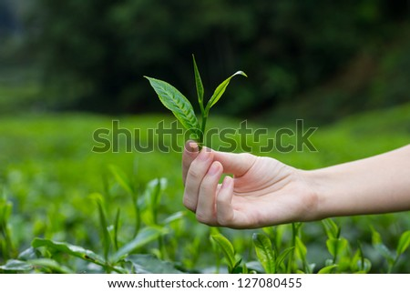 Fresh tea leaves in fingers over tea bushes on plantation - stock photo