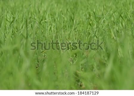 fresh thick grass closeup - stock photo