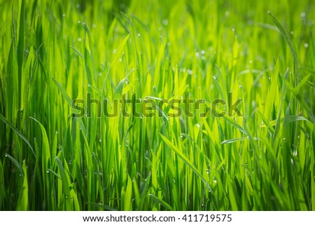 fresh thick grass with water drops in the early morning - stock photo