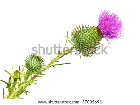 Fresh thistle flower isolated on white background