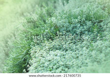 Fresh Thyme and Rosemary Herbs growing in garden - stock photo