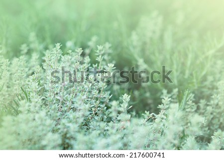 Fresh Thyme Herb growing in garden - stock photo