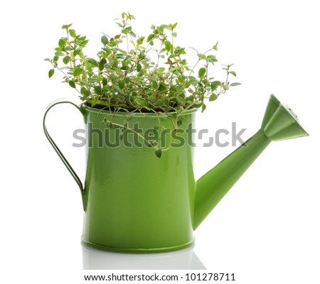 Fresh Thyme Herb In A Green Watering Can - stock photo