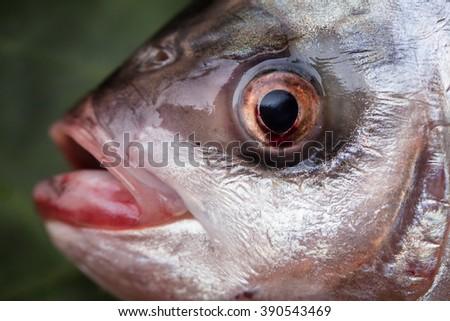 Fresh tilapia fish - stock photo