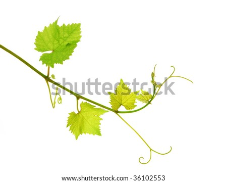 Fresh tip of grapevine branch, isolated on white background - stock photo