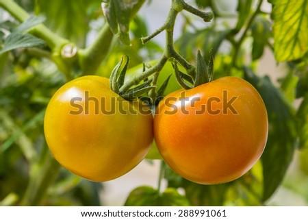 fresh tomato fruit at the garden - stock photo