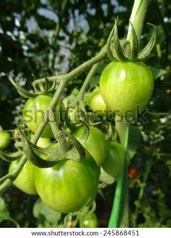 Fresh tomato in the garden - stock photo