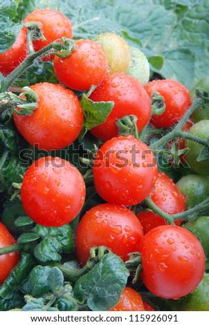 fresh tomatoes - stock photo