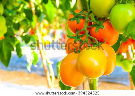 fresh tomatoes growing on a branch In A Garden. - stock photo