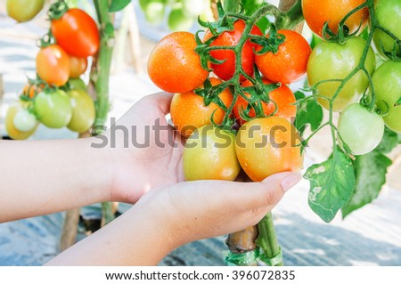 Fresh tomatoes in woman hands,Tomato harvest.