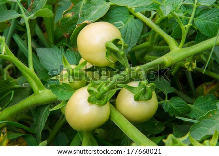 fresh tomatoes on the plant - stock photo