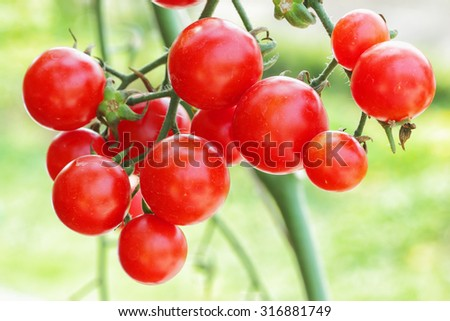 fresh tomatoes plant - stock photo