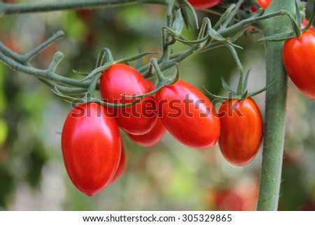 Fresh tomatoes plants
