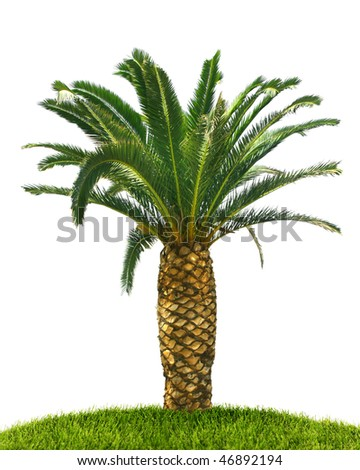 Fresh tropical palm tree with green leaves isolated on white