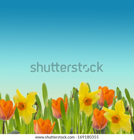 Fresh tulips and daffodils in grass. Summer background. Abstract background for design.