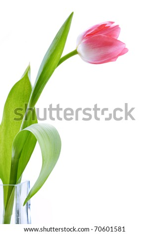 fresh tulips isolated on white background - stock photo
