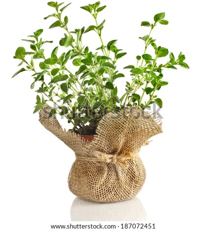 fresh vegetable oregano herb growing in brown terracotta pot isolated on white background - stock photo