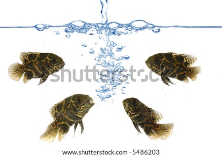 Fresh water is poured into an aquarium with oscar tiger fish. - stock photo