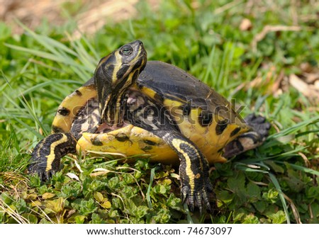 Fresh water turtle sitting on a grass lawn looks around